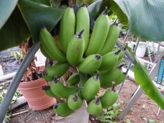 banana1gou1130+1_convert_20081130174100.jpg