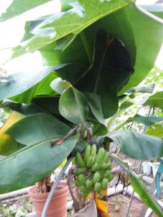 banana1gou1130+2_convert_20081130173938.jpg