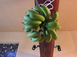 banana1gou1130+5_convert_20081130174227.jpg