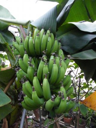 banana2gou1130_convert_20081130174517.jpg