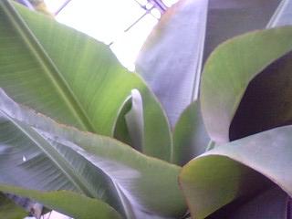 banana4gou0531.jpg