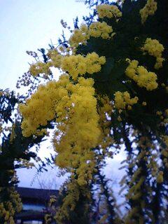 mimoza0228.jpg