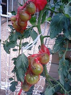 tomato0621.jpg