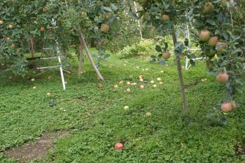 落下りんご 1