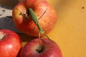 りんごの上のかまきり