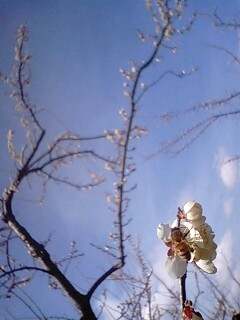 梅の花にとまる蜂