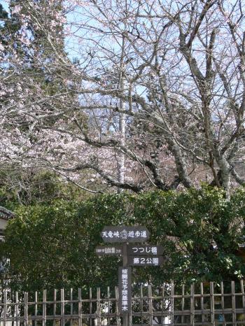 天龍峡の桜