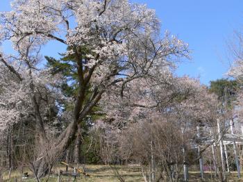 交流館の桜