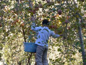 泰典のりんご収穫