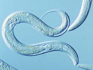 c+elegans.jpg
