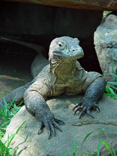 komodo-dragon-1a.jpeg