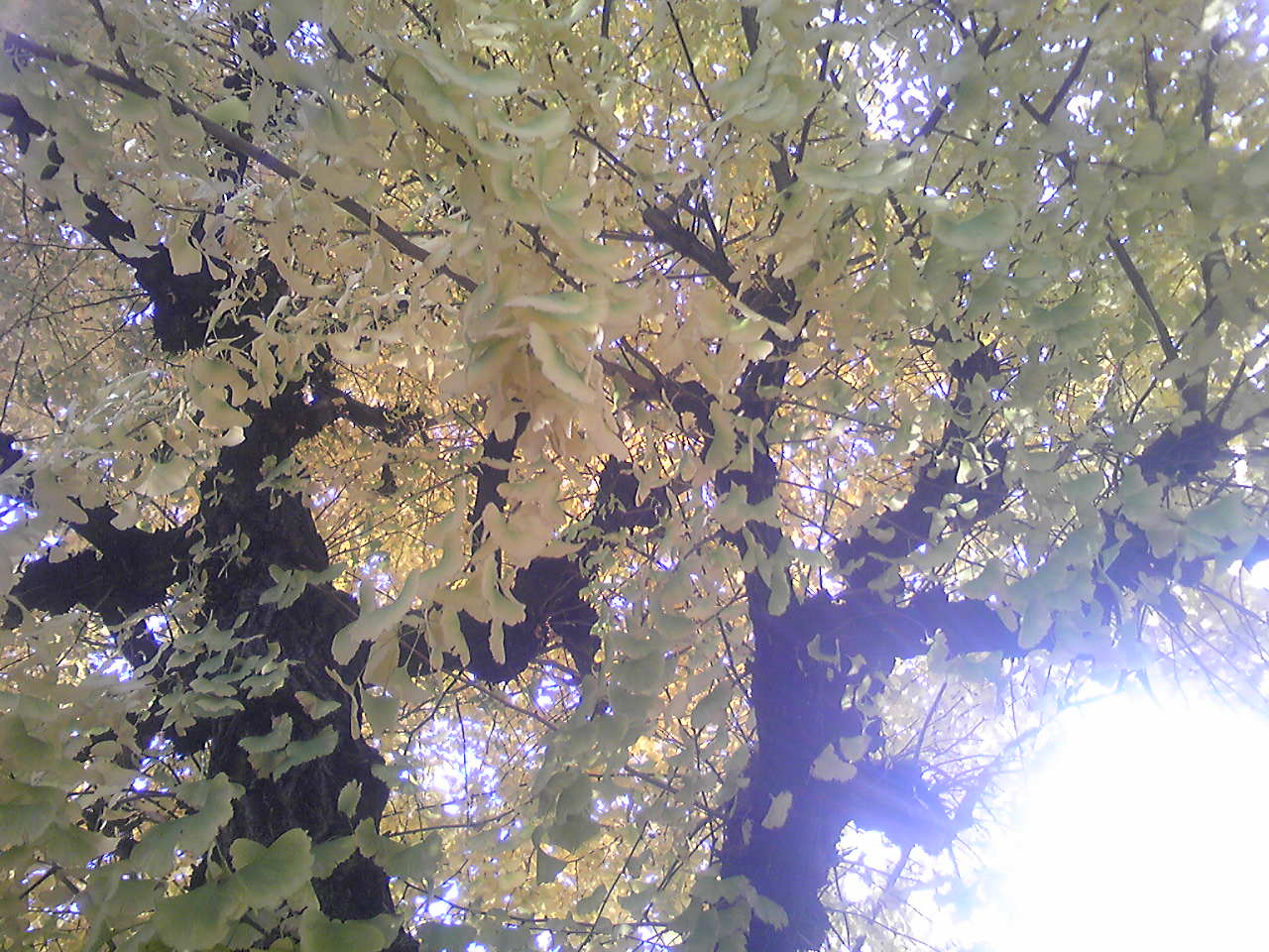 a gingko tree 2