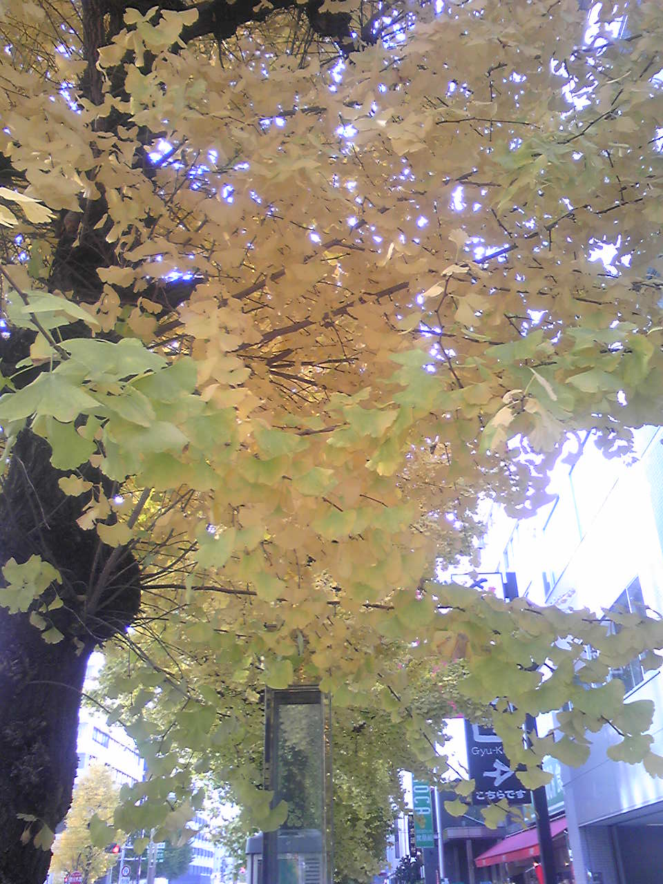 a gingko tree 1