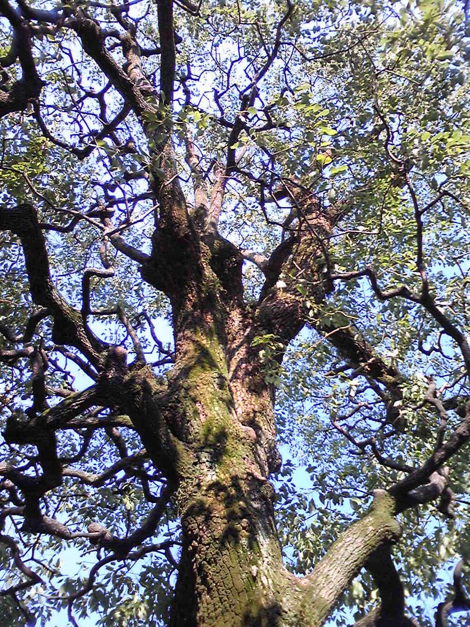 kusunoki tree