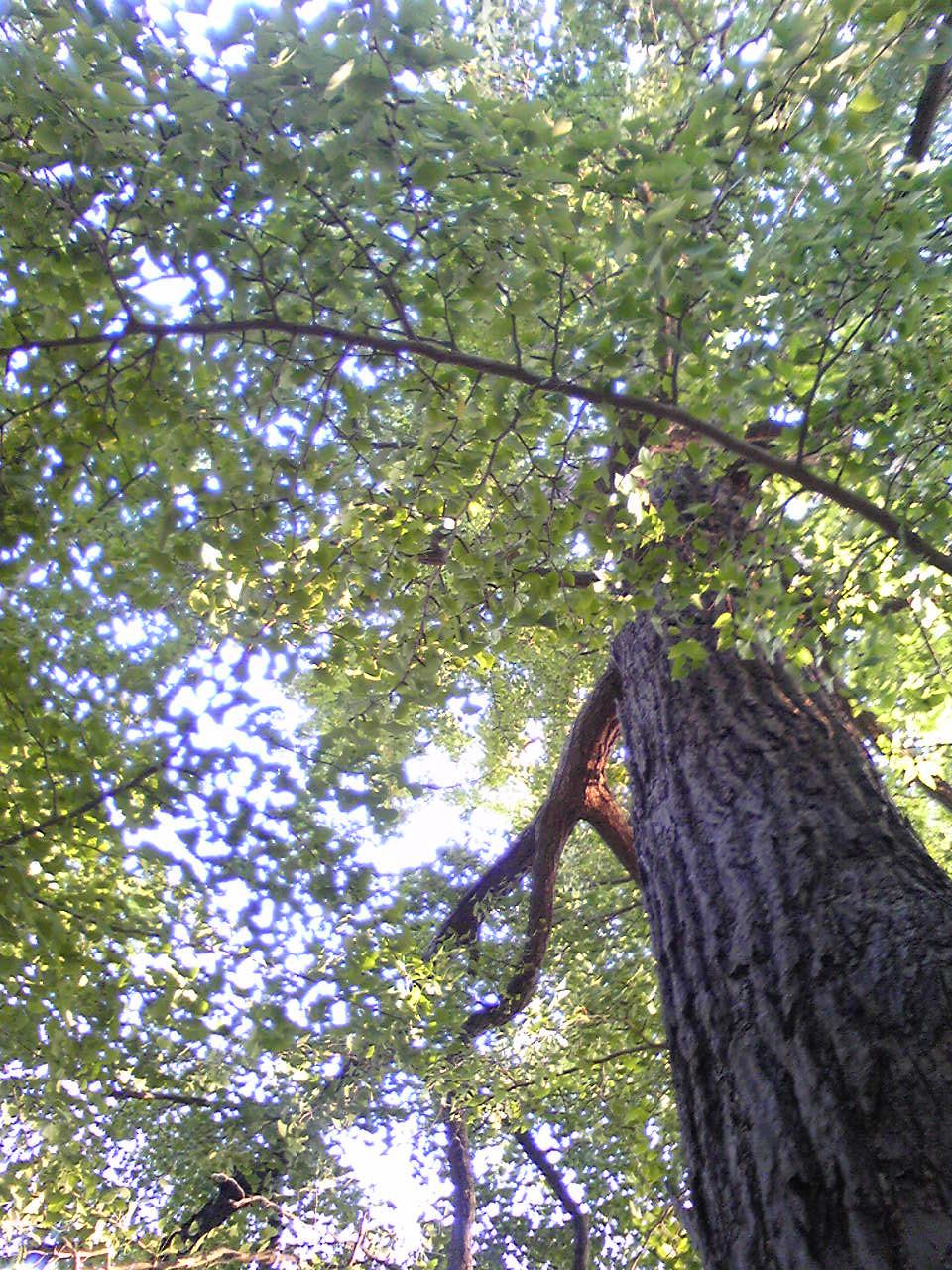 ichou tree