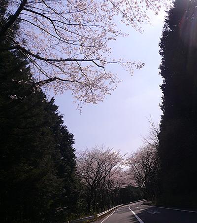 yamasakura.jpg