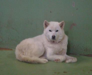 027白い犬