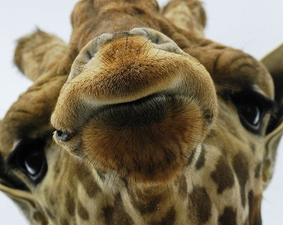 animal-picture-giraffe-ucumari-animalpicture.jpg