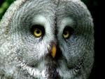 animal-picture-great-grey-owl-jpockele-photo.jpg