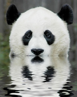 animal-picture-panda-bear-ucumari-animalpicture.jpg