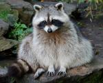 animal-picture-raccoon-wen-flickr-animalpicture.jpg