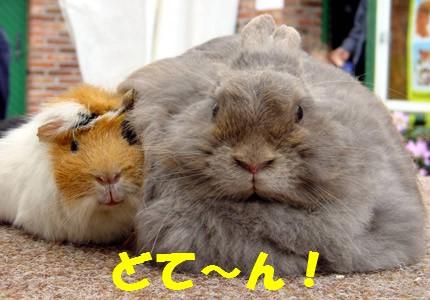 fat-rabbit.jpg