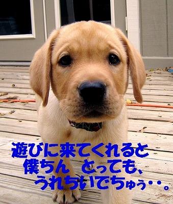 golden-lab-puppy.jpg
