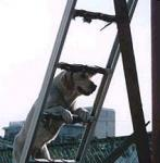 sar_dog_ladder.jpg