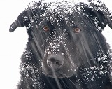 snow-dog-heidi-bosch.jpg