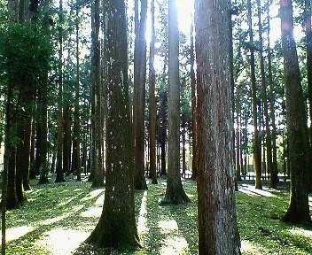 瑞巌寺の杉