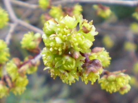 アブラチャンの花2