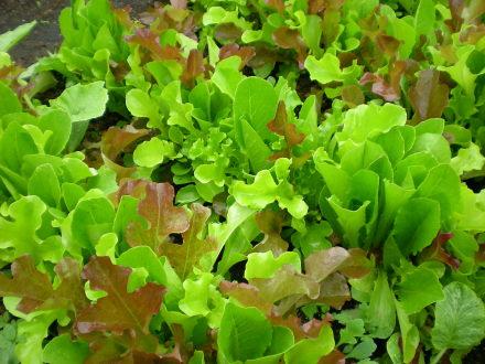 ガーデンレタス