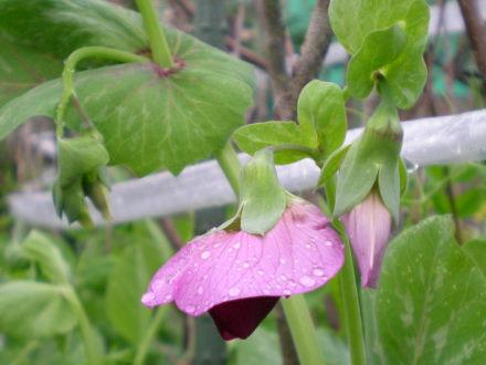 赤花エンドウ
