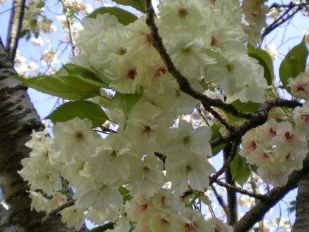 うこん桜4