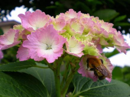 アジサイとハチ