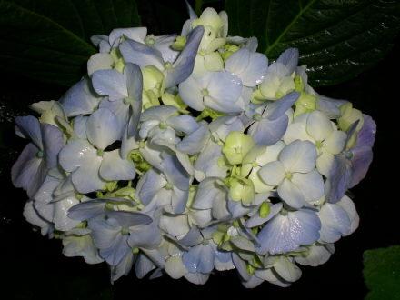 アジサイ青花