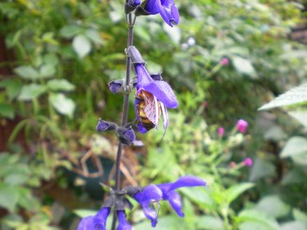 メドウセージとハチ