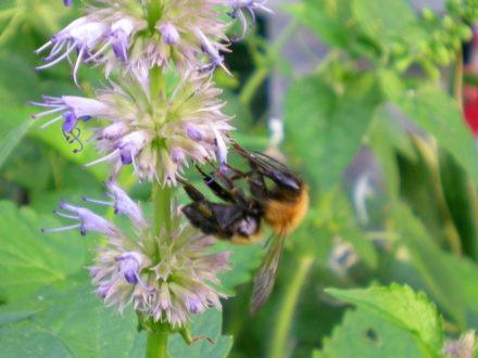 アニスヒソップとハチ