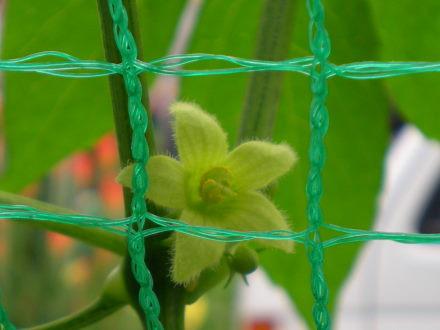 オキナワスズメウリの花711