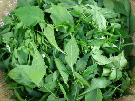唐辛子の葉