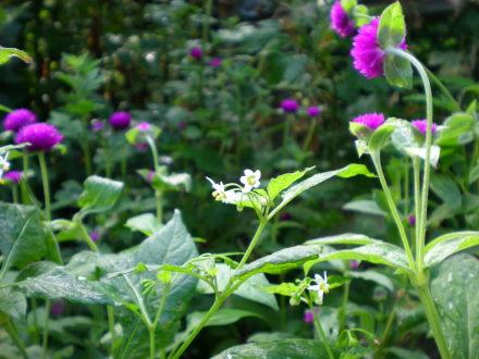 裸ホウズキの花