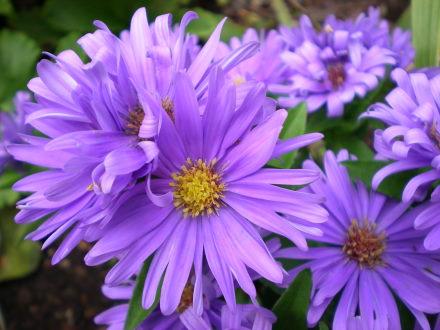 シノノメ菊