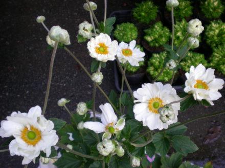 八重のシュウメイ菊103