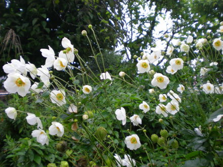 シュウメイ菊106
