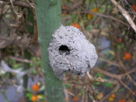 トックリバチ(?)の巣