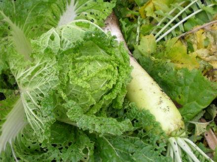 大根と白菜1112