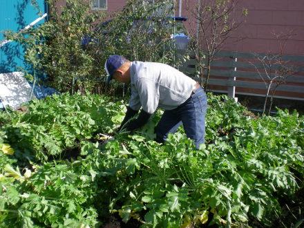 大根の収穫1121