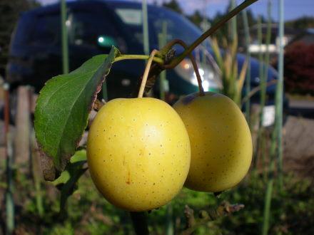 姫リンゴ1121