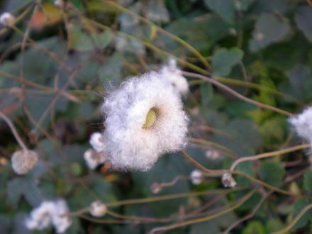 シュウメイ菊の種