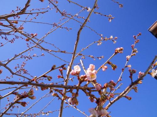 暖地桜桃45